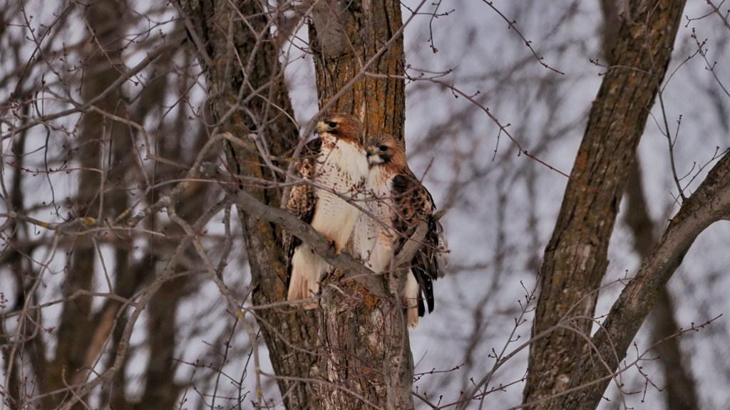 how long do hawks stay in one area