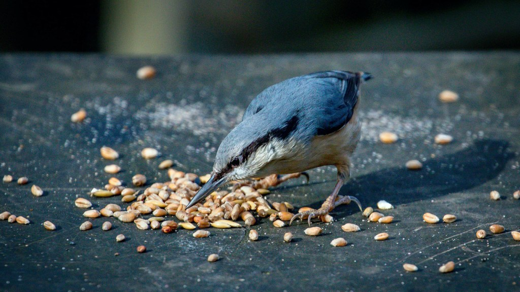 what do baby nuthatches eat