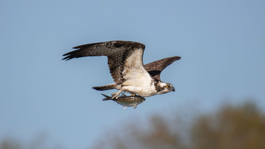what time of day do osprey hunt
