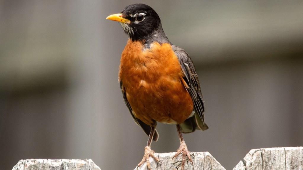 hand feeding robins