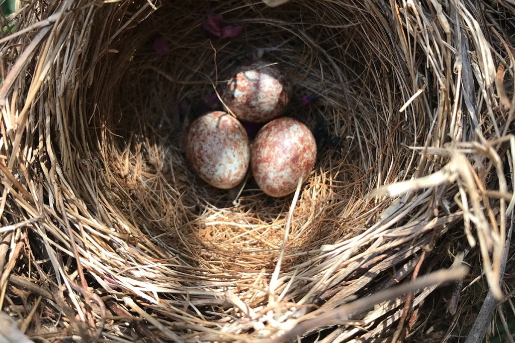 how to move a bird's nest with eggs