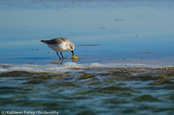 Sanderling struggles with a snack. Sandy Hook, NJ. Photo taken on January 1, 2015 with a Nikon 3200, Sigma 500mm.