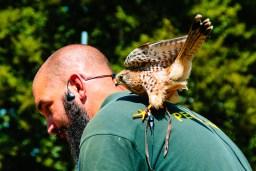 Flying to safety on her handler's shoulder.