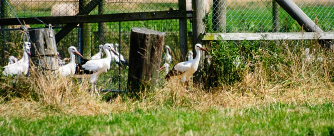 The first brave young storks are emerging from the aviary.
