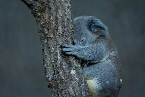koala-4230218_1920