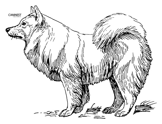 Dog Coloring Page Samoyed Coloring Pages
