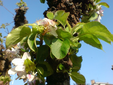 Apfelbaum in meinem Garten. Aufgenommen mit dem Fotohandy SONY K800i.