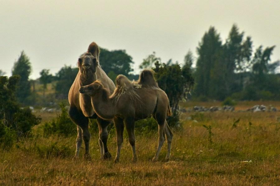 Kamele bei Borgholm auf der schwedischen Insel Öland. NIKON D700 und AF-S Nikkor 70-300 mm 1:4.5-5.6G VR.