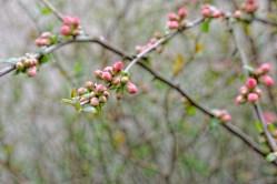 Bild: Die Japanische Quitte braucht wohl noch ein paar Tage um ihre Blütenknospen zu öffnen. NIKON D700 mit TAMRON SP 24-70mm F/2.8 Di VC USD. ISO 200 ¦ f/5,6 ¦ 70 mm ¦ 1/80 s ¦ kein Blitz. Klicken Sie auf das Bild um es zu vergrößern.