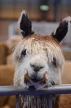 British Alpaca Futurity_NEC_150313 (111)