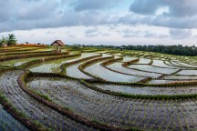 Utara Rice Fields