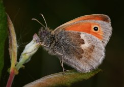 Small Heath Butterfly by Robert Revill
