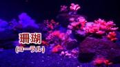珊瑚(コーラル)