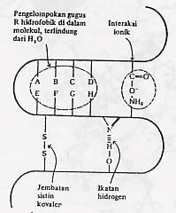 (a) Interaksi antar gugus rantai samping residu asam amino. (b) Contoh struktur tersier protein