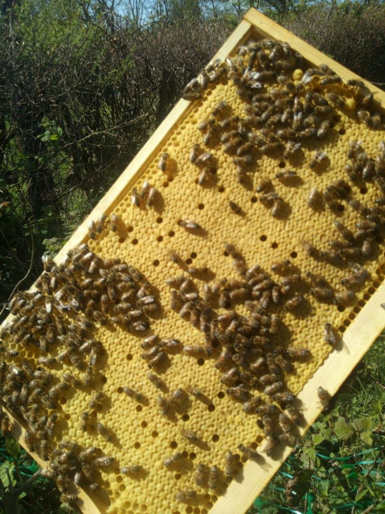 Brood frame of Bees