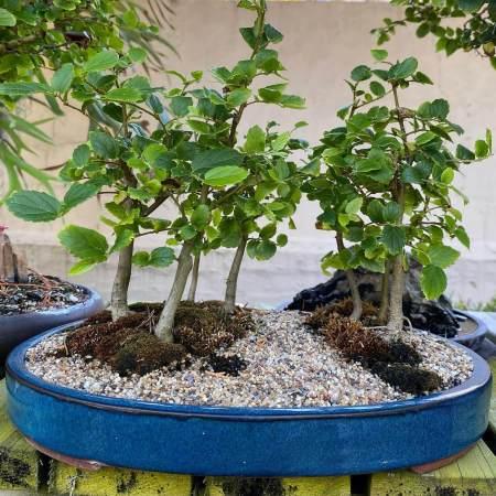 Bonsai Celtis sinensis forest