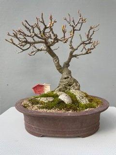 Ficus Burt-Davi Wild Fig