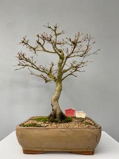 Acer buegerianum - Chinese Maple Bonsai