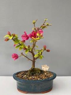 Bouganvillea (pink)