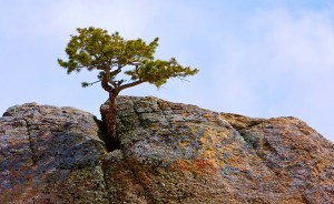 Tree growing in rock