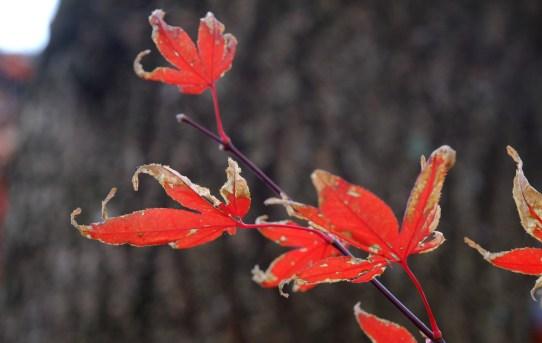 盛り過ぎた紅葉
