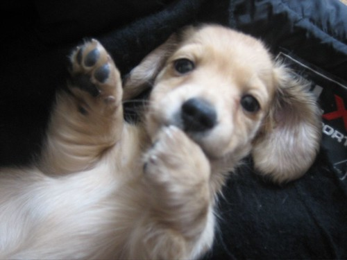 LONG HAIRED MINI DACHSHUND PUPPIES FOR SALE