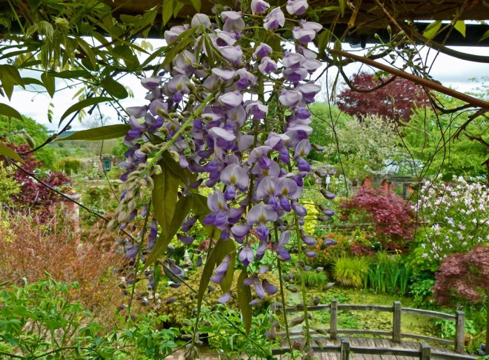 Pendulous wisteria in La Casa Verde, overlooking the garden (this bit has a Japanese feel to it)