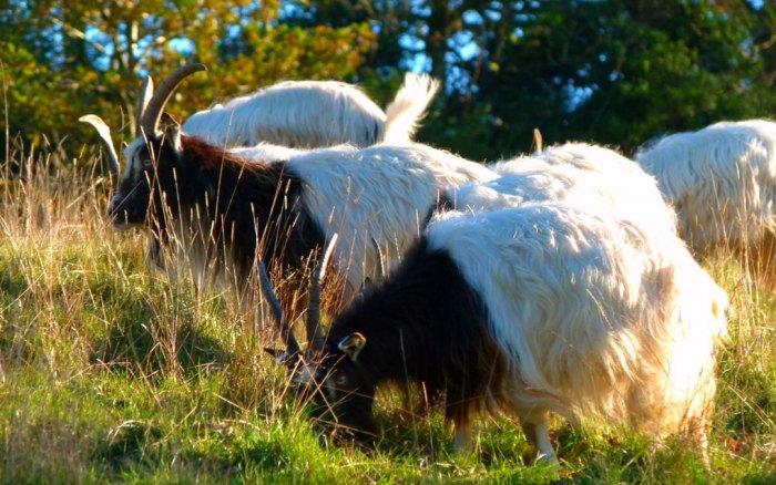 Bagot goats in Levens Park, Cumbria