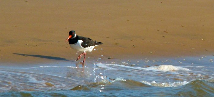 Oyster catcher, Blakeney, Norfolk