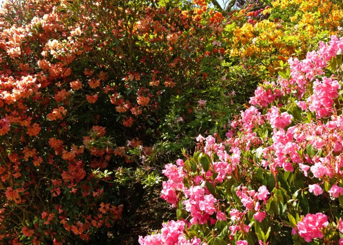 Scotney Castle, rhododendrons and azaleas