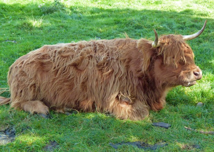 Highland cattle, Shugborough,