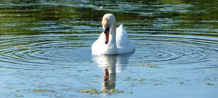 Cuckmere Haven, wildfowl, swan, East Sussex