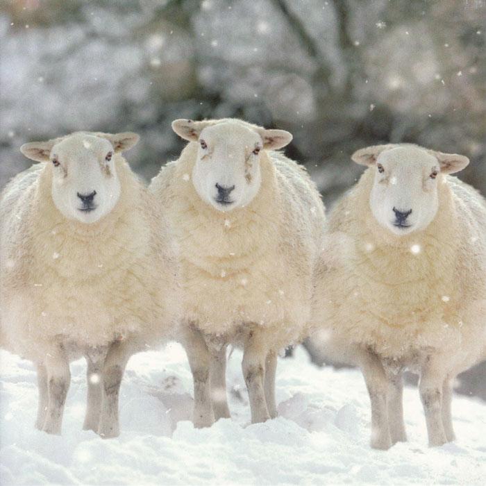 We three sheep, Christmas card.