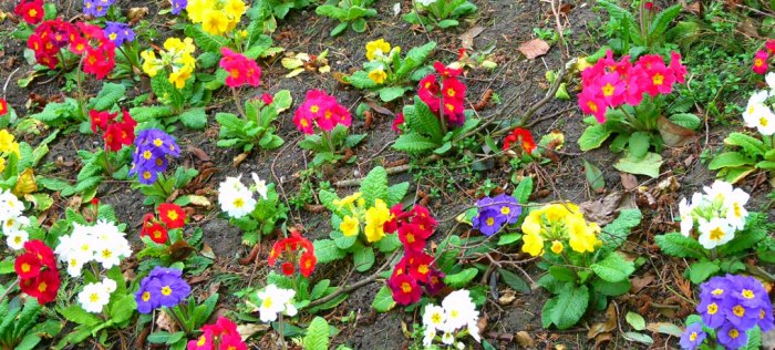 Primulas, bedding plants, Nottinghamshire