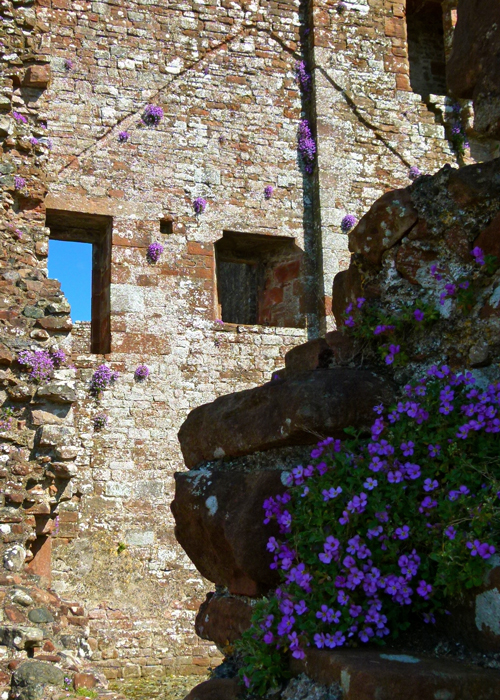 Aubretia, castle wall, Brougham, ruined castles, England