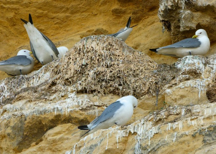 Kittiwakes, Marsden Bay, Tyne & Wear, wildlife