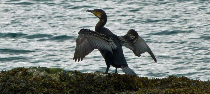 Cormorant, Loch Duich, Eilean Donan