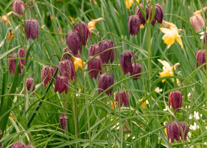 Nymans, fritillaries