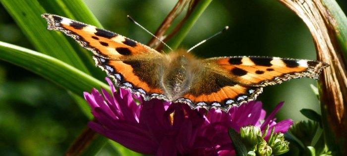 Holker, gardens, butterflies