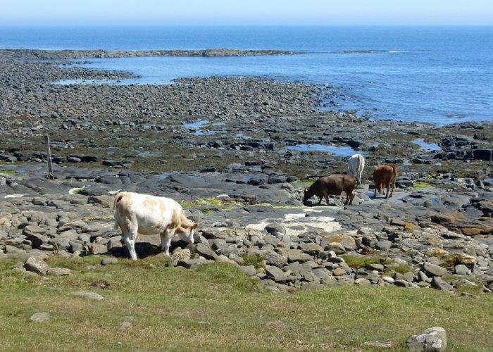 Dunstanburgh, walks, cattle