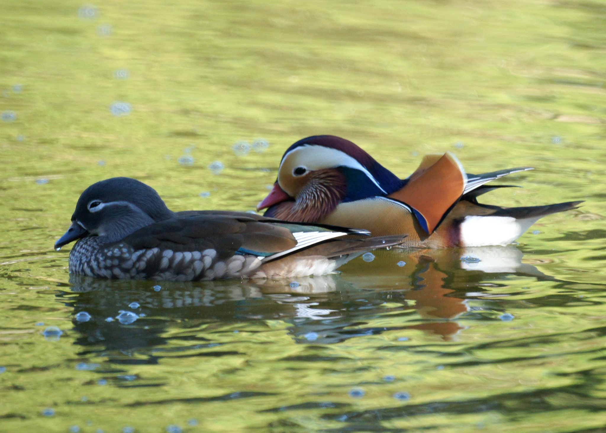 zw_mandarin_duck