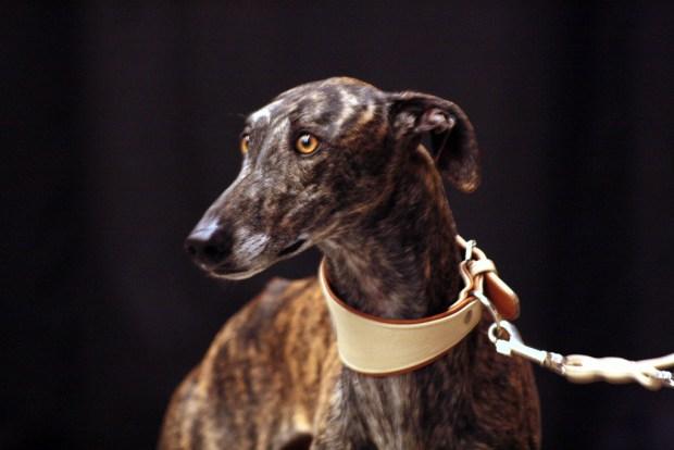 Spanischer Windhund. Bild von Daisyree Bakker via flickr.com. Lizenz: Creative Commons
