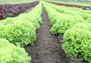 Lettuce E. Coli Outbreak Prompts FDA to Seek Blockchain Solution