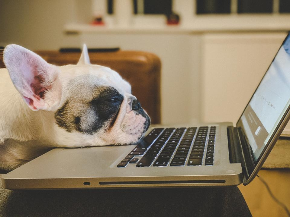 French Bulldog falling asleep on a laptop