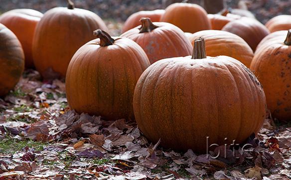 Field of Pumpkins for bite