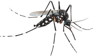 shape close up of tiger mosquito