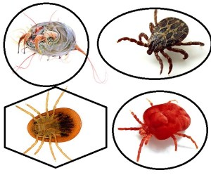 many types of ticks and mites