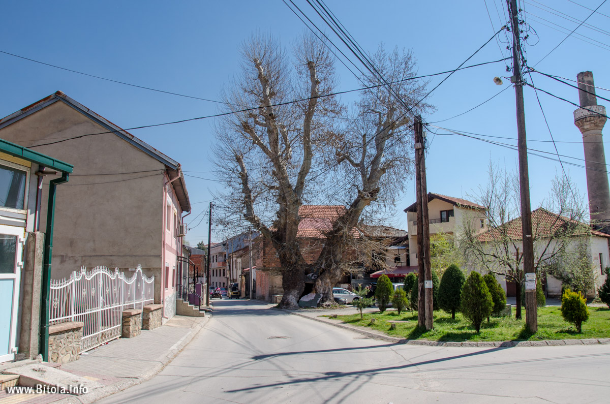 Read more about the article Bitola Chinar (Plane Tree) – one of the oldest trees in the Balkans