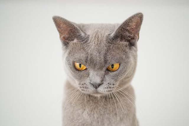 困って怒ってるような猫