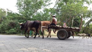 cart being pulled by oxen on a road in Ometepe Island, Nicaragua